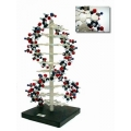 DNA構造模型