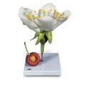 櫻桃花朵和果實模型