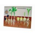 單子葉雙子葉種子萌發模型