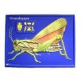蝗蟲解剖模型
