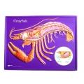 蝦解剖模型
