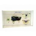 粉蝶生活史標本(展示標本)