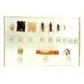 蜜蜂的生活史封膠標本