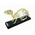 兔骨骼標本