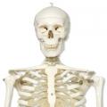 170cm標準人體骨骼模型