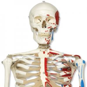 人體骨骼模型(170cm)