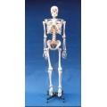 168cm標準人體骨骼模型