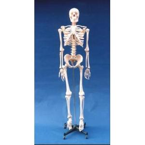168cm标准人体骨骼模型