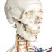 有彈性的人體骨骼模型