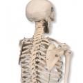 小型人體骨骼模型(88cm)