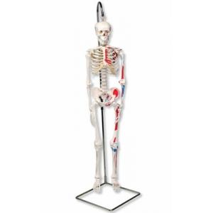 小型人體骨骼模型(94cm)