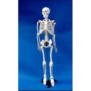 85cm小型骨骼模型