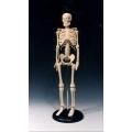 45cm迷你骨骼模型
