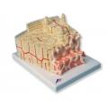 骨骼構造模型