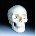 標準人頭骨模型(3分解)