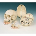 人類頭蓋骨模型