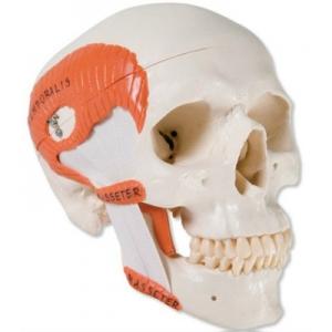 人頭骨模型