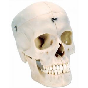 精細人頭骨模型