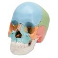 高級多彩教育用人頭骨模型(22分解)