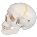 具頭縫線人頭骨模型