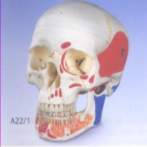 標準含開放下頜骨的人頭骨模型(3分解)