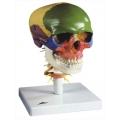 帶有頸椎的頭骨模型