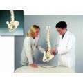 活動式脊椎模型