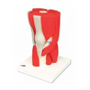 可拆卸的肌肉,膝關節