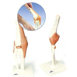 肘關節模型