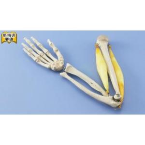 肘關節與肌肉功能模型