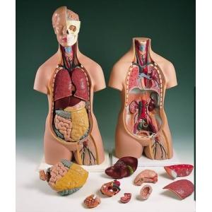 87cm人體解剖模型(13分解)