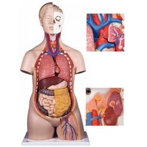 標準無性人體模型(12分解)