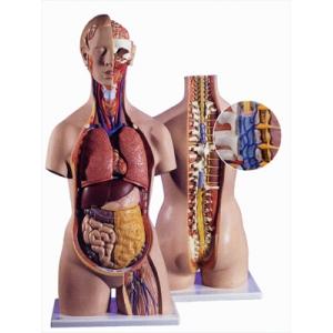 標準無性人體模型含開放背及頸(18分解)
