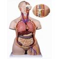 28分解人體兩性前後解剖模型