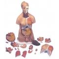 87cm人體兩性解剖模型(20分解)