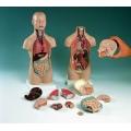 迷你人體模型(12分解54cm高)