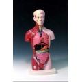 15分解式迷你人體解剖模型