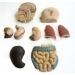 人體解剖模型