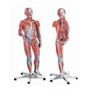豪華型兩性人體肌肉臂模型
