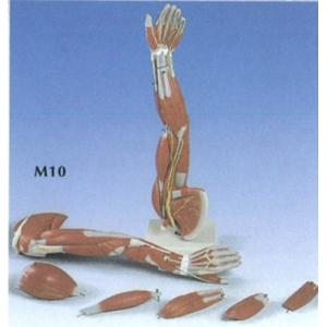 手部肌肉模型