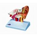 平衡聽覺器模型