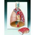 7分解肺模型