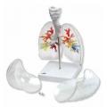 透明肺部模型