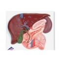 肝、膽、胰與十二指腸模型
