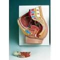 女性骨盆腔模型