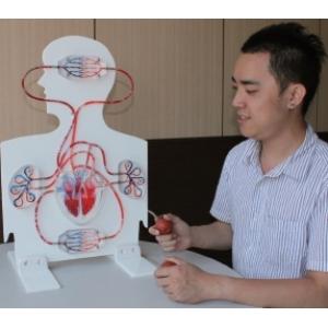 人體血液循環系統功能模型