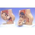 懷孕足月模型
