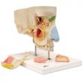 鼻與鼻竇五部分分解模型