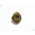 菊石自然化石