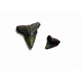 鯊魚牙齒自然化石